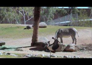 New Baby Zebra