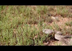 Rattlesnakes in Arizona